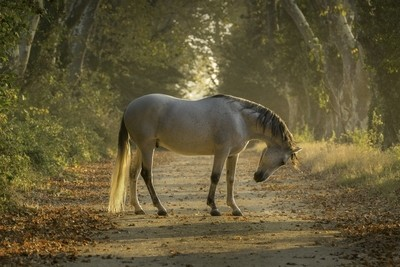 Lusitano in the early morning