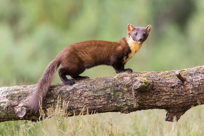 pine marten by davejoicey - Rule Of Seconds Photo Contest vol1
