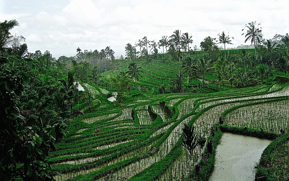 Rice fields, Bali