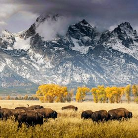 Buffalo and Grand Tetons, Gros Ventre, WY