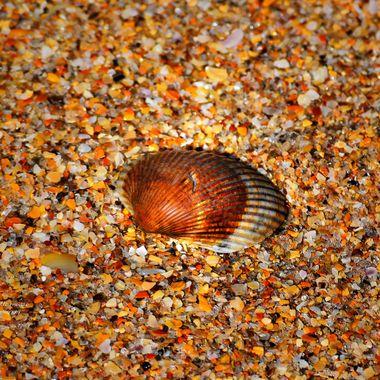 Beautiful Shell at New Smyrna Beach Feb 2018