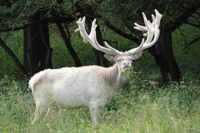 Albino stag.