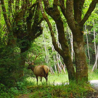Mossy elk!