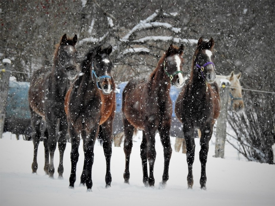 colts running in the snow
