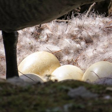 Canada Goose eggs, Spring 2015