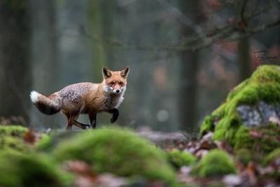 The red fox (Vulpes vulpes)