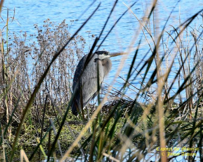 Great Blue Heron on a Spit of Land