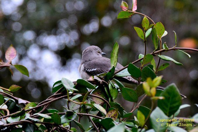 Mockingbird in Bushes