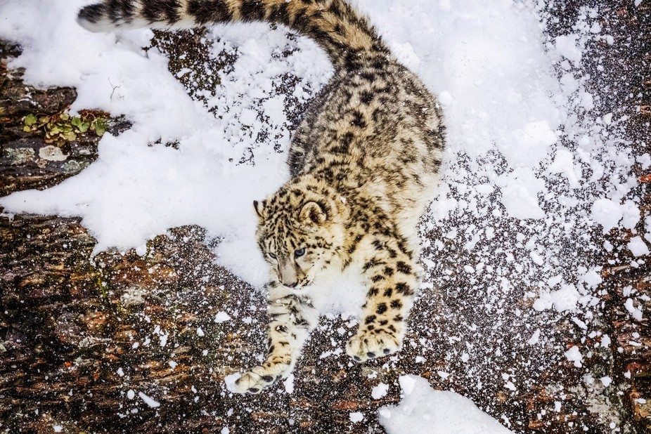 Snow Leopard photographed during wildlife shoot in Montana, January 2018