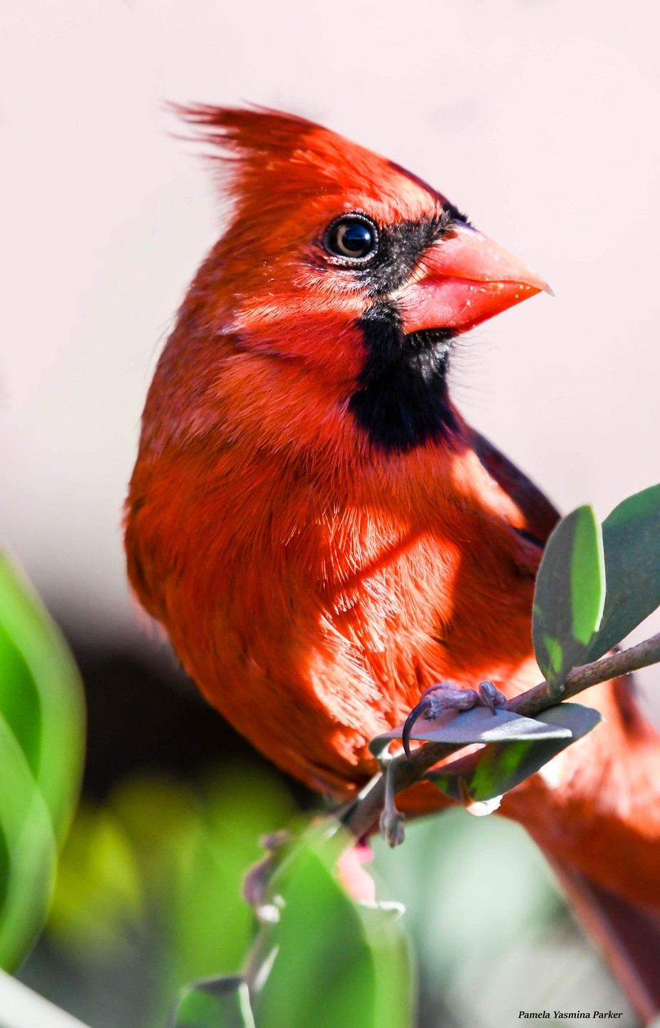 I have been trying to photograph a Northern Cardinal for years.  Finally the day arrived!