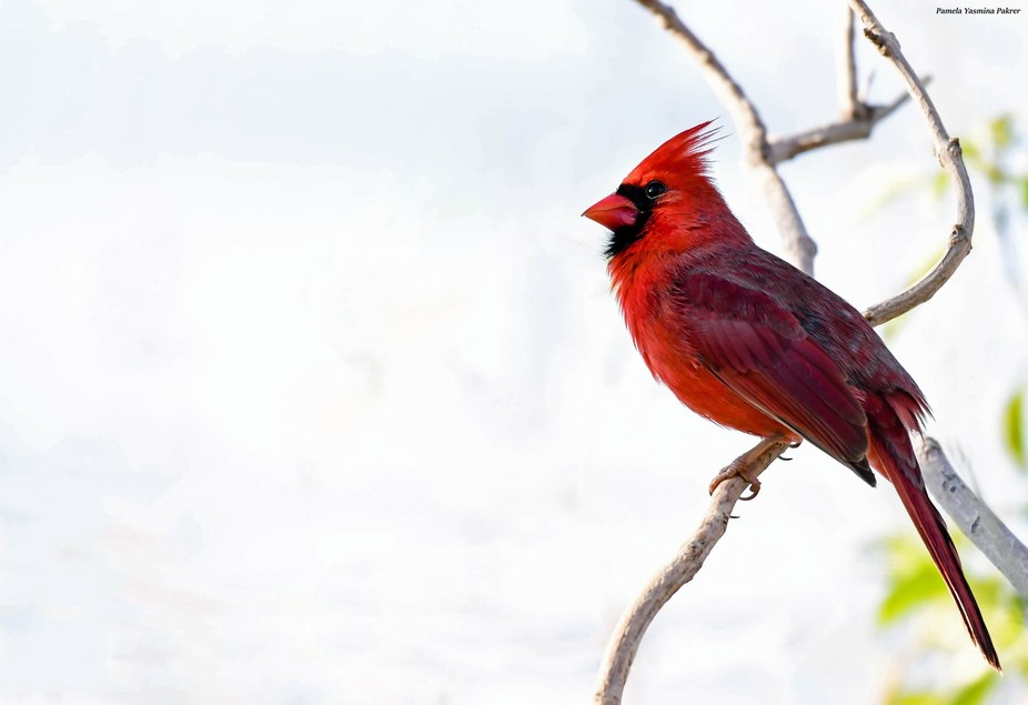Happiest day in my life, finally being able to photograph a Northern Cardinal.