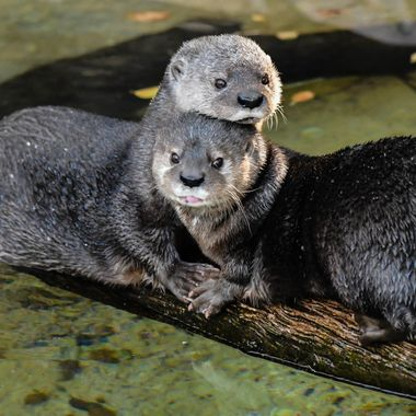 Love Otters!  This is a pair of Spotted Necked Otters.