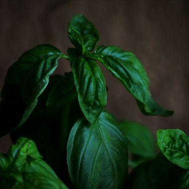 Organically Homegrown Basil