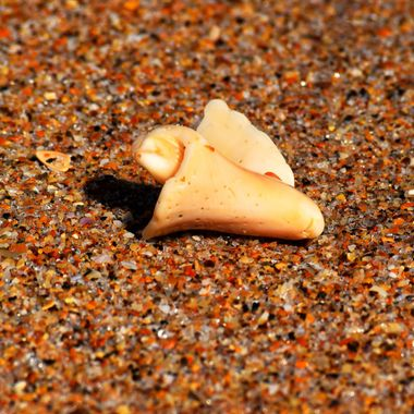 Small Conch Shell