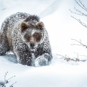 It was simply fun observing this young bear exploring his territory on a quite cold winter day