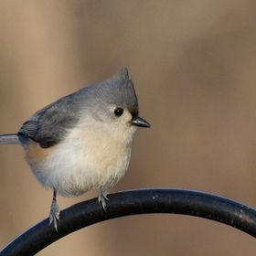 This Tufted Titmouse is captured in West Tennessee in the United States where it is fairly common. The small bird is perched and watching for any...