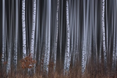Beauty Of Birches
