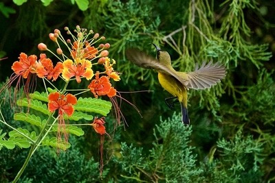 Olive-backed Sunbird feeding.
