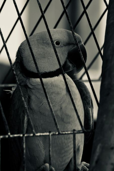 Parrot Parrot in cage