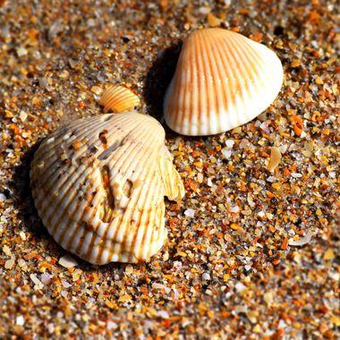 New Smyrna Beach Shells Feb 2018