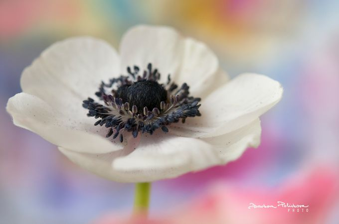In pastels by Barbora_Polivkova - Pastel Colors Photo Contest