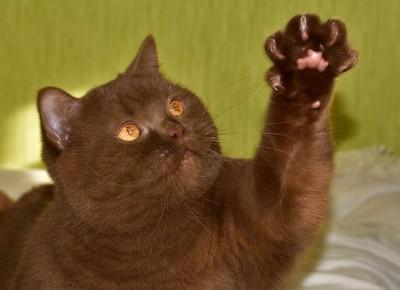 Orfey Cat