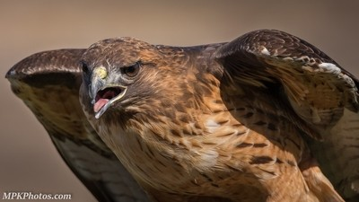 Red Tail Hawl