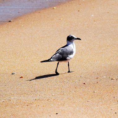 Strutting Seagull