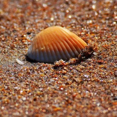 Seashell on the NSB Seashore