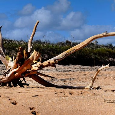 Beached Drift Tree