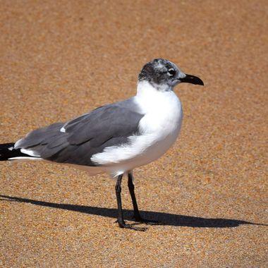 NSB Seagull