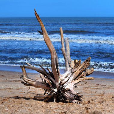 Beached Drift Wood Tree at NSB