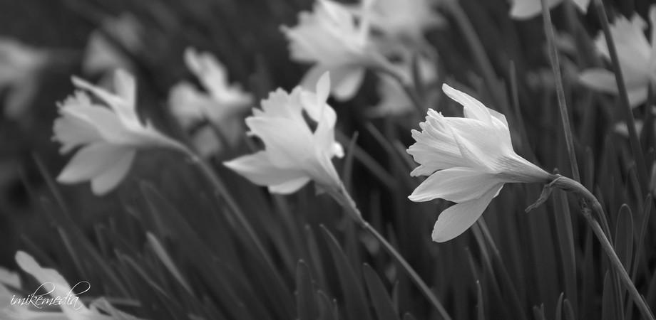 Daffodil 1b