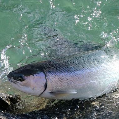 Ocean run Rainbow are called steelhead. This one is from the Vedder River at Chilliwack B C