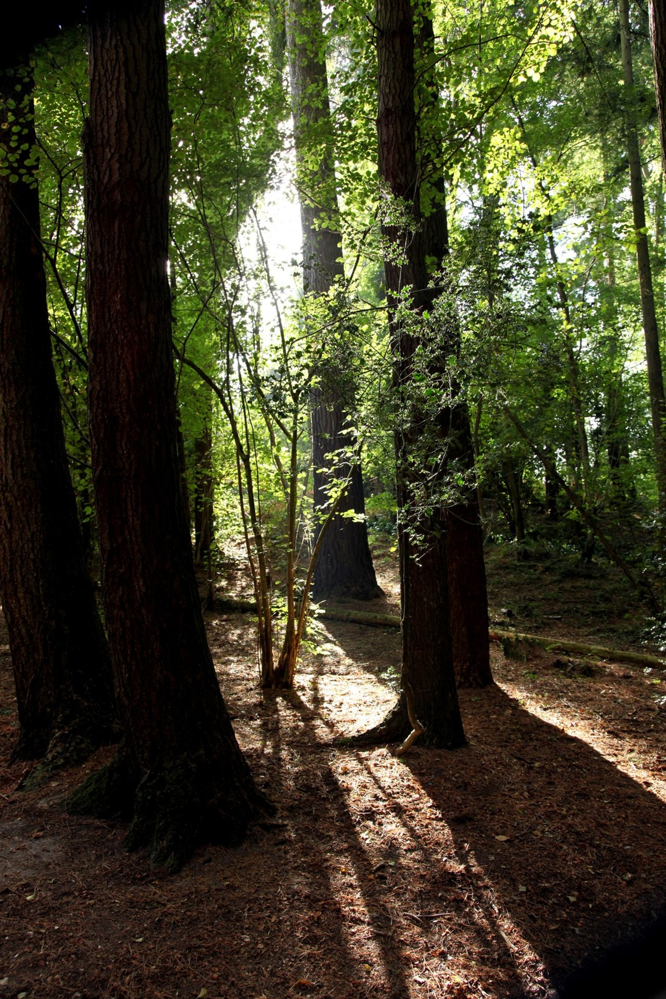 Thorncombe, Bockhampton Woods - we've called them by both names, right or wrong! A beautiful place to walk not far from Thomas Hardy's Cottage