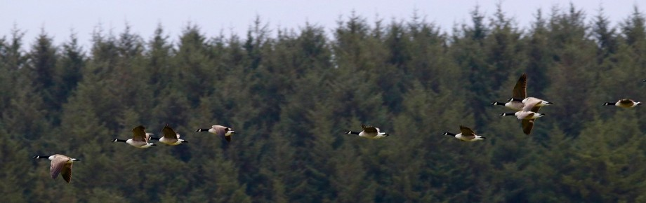 Geese flying over Crowdy Reservoir in Cornwall