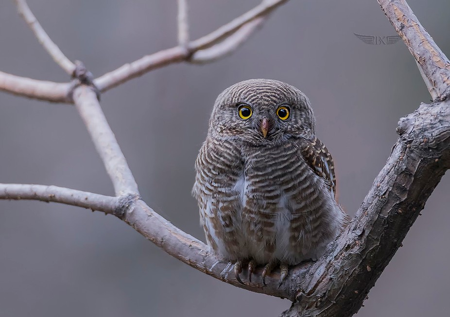 Asian barred owlet's staring at me as I spotted it...
