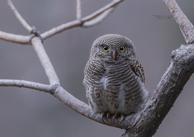 Asian barred owlet's stare...