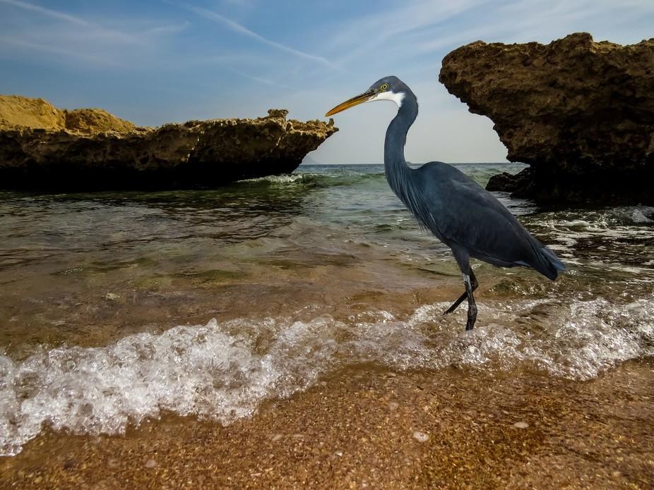 Western reef heron, Shark bay, Sharm El-Sheikh, Egypt