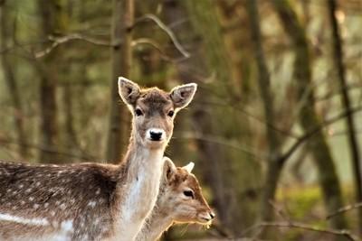 deer mama