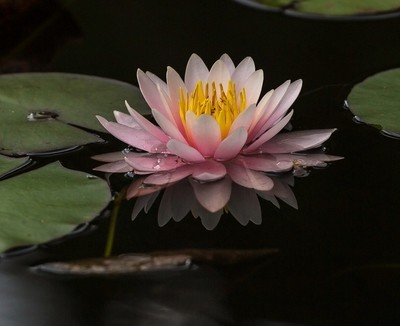 wet lotus flower