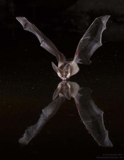 Pallied Bat