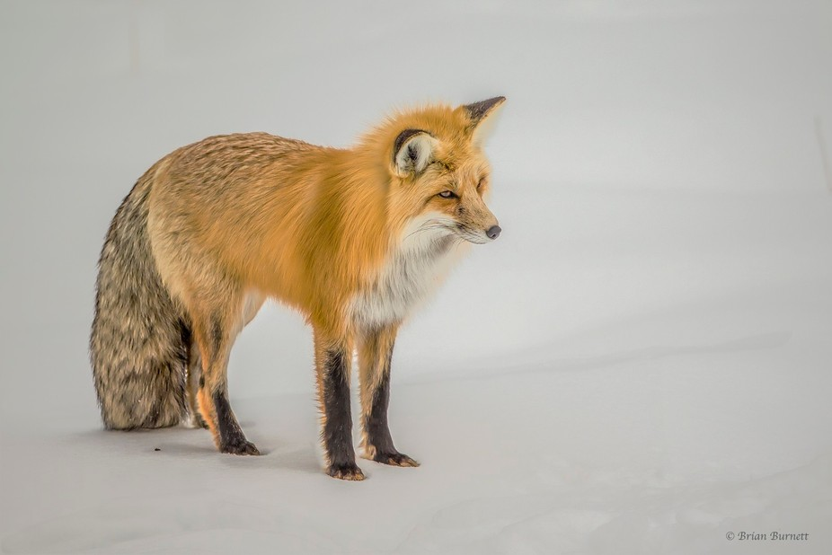 Red Fox hunting.. This handsome fellow has his head cocked to one side & is listening for...