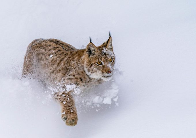 Lynx at Triple D by Mtheil - Animals In The Winter Photo Contest