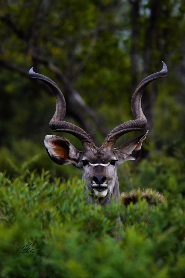 Kudu by mattjkennedy - Depth In Nature Photo Contest