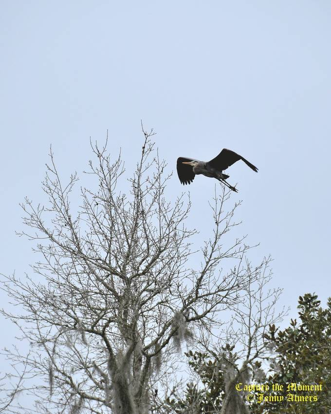 Heron Flying Over the Trees