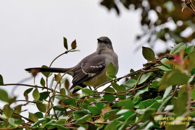 Mockingbird Keeping Watch