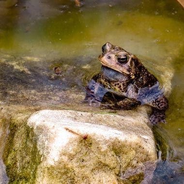 Frog, Spring, 2017, Potomac, MD   IMG_0315-2
