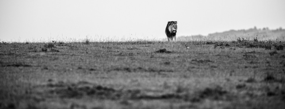 Lion on the plains of the Mara, Kenya