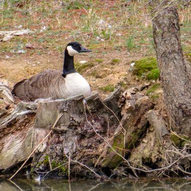 Female Canada Goose - Spring 2015 - Potomac, MD - IMG_0197-2